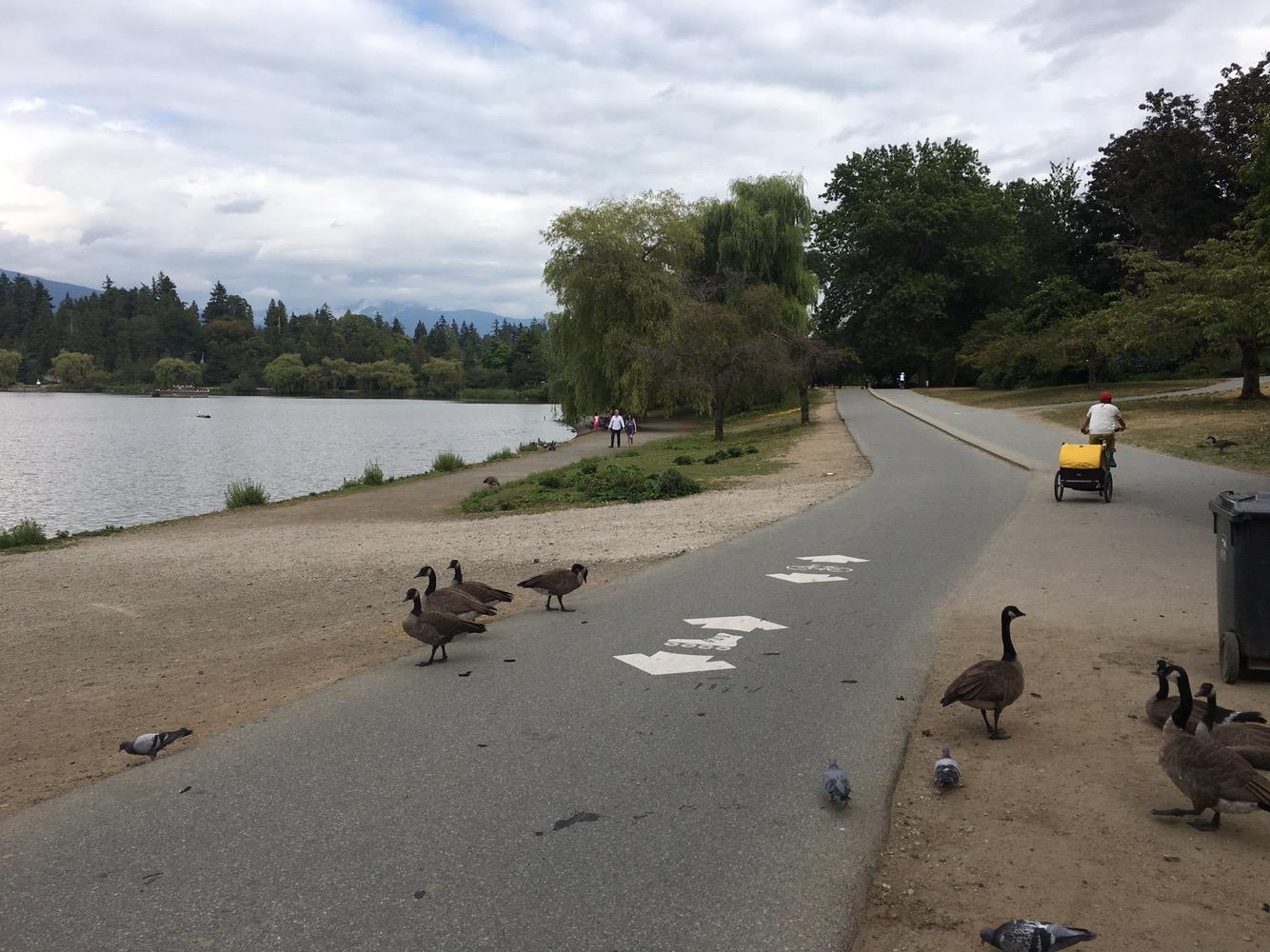 geese on bike lane